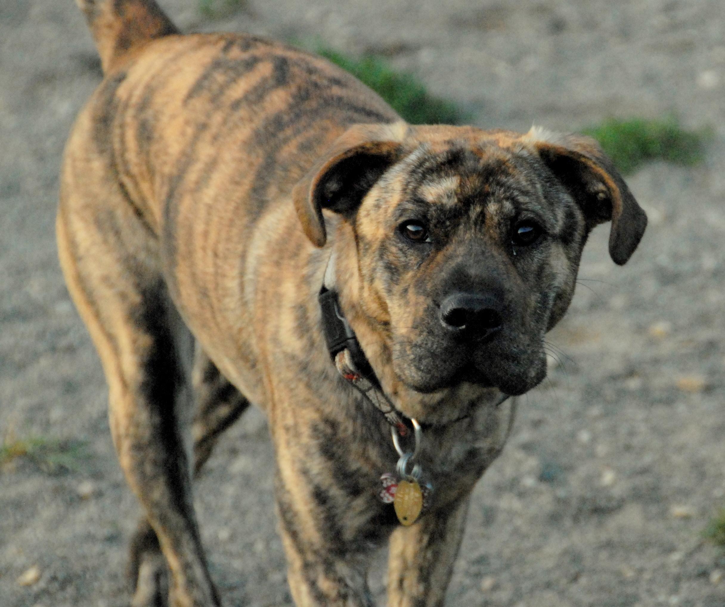 Tiger dog breed