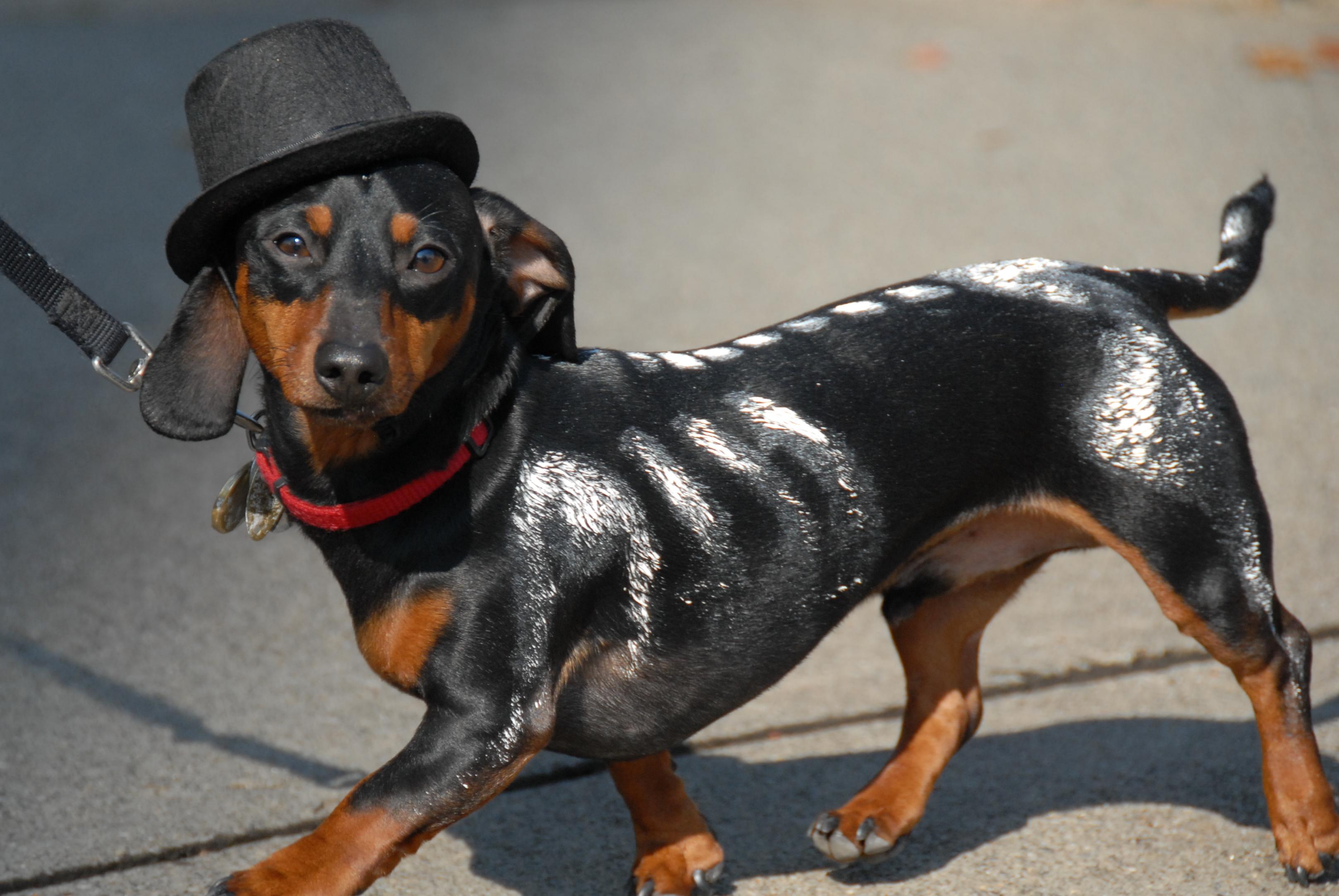 2010-10-24 – morristown dog halloween costume parade | morris county