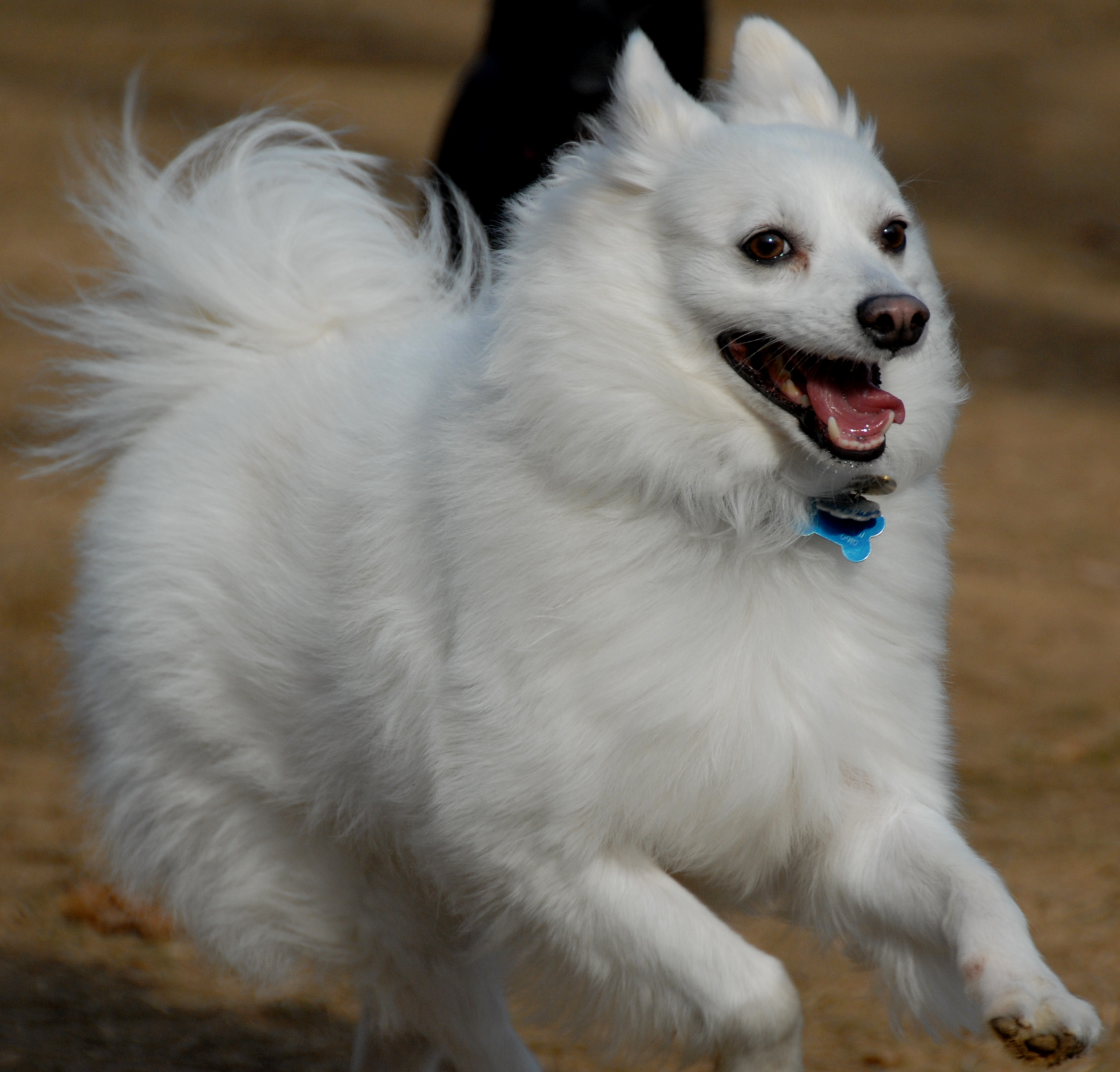 fluffy miniature dogs - photo #18